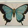 Papilio ulyssus joesa.