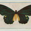 Papilio lycidas.