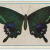 Papilio arcturus.