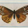 Papilio slateri.