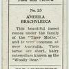 Amerila brachyleuca.