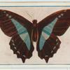 Papilio sarpedon.