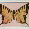 Papilio anticrates.