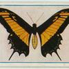 Papilio polycaon.
