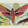 Elephant hawk moth.