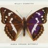 Purple emperor butterfly.