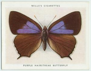 Purple hairstreak butterfly.