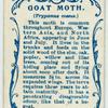 Goat moth.