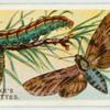 Pine hawk-moth.
