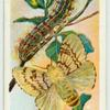 Gipsy moth.