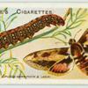 Spurge hawk-moth.