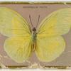 Catopsilia trite.
