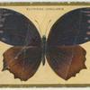 Elyminias undularis.