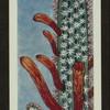 Cleistocactus baumannii.