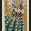Echinopsis multiplex.