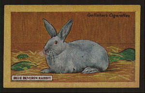 Blue beveren rabbit.