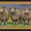 Ewe lambs.