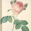 Rosa Centifolia; Rosier de Provence (syn.)