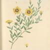 Rosa Berberifolia; Rosier de Perse (syn)