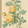 Rosa Sulfurea; Rosier a fleurs jaune soufre (syn)