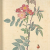 Rosa Rubrifolia; Rosier a feuilles rougeatres (syn)