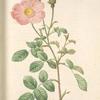 Rosa Muscosa 'Simplex'; Rosier mousseux