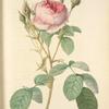 Rosa Muscosa Multiplex; Rosier mousseux a fleurs doubles (syn)