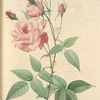 Rosa Indica Vulgaris; Rosier de Chine 'Old Blush China'