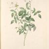 Rosa Indica Acuminata; Rosier nain du Bengale