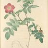 Rosa Alpina Pendulina; Eglantier des Alpes