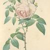 Rosa Indica Fragrans; Rosier des Indes odorant