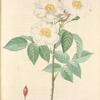 Rosa Damascena Subalba; Rosier de Damas 'Petale teinte de rose'