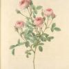 Rosa Pomponia; Rosier Pompon 'De Meaux'