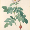 Rosa Villosa Pomifera; Rosier pomme