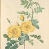 Rosa Eglanteria; Rosier fetide