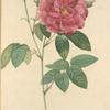 Rosa Gallica Officinalis; Rosier des Apothicaires