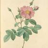 Rosa Centifolia Simplex; Rosier a centfeuilles a fleurs simples