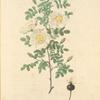 Rosa Pimpinellifolia Mariaeburgensis; Rosier Pimprenelle de Marienbourg