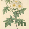 Rosa Brevistyla Leucochroa; Rosier a court-style (var a fleurs jaunes et blanches)