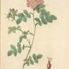 Rosa Rubiginosa Triflora; Variete du Rosier rubigineux