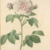 Rosa Alba Regalis; Rosier blanc 'Great Maiden's Blush' ;  'Cuisse de Nymphe Emue'