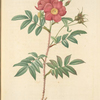 Rosa Redutea Rubescens; Rosier Redoute a tiges et a epines rouges (syn)
