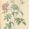 Rosa Cinnamomea Maialis; Rosier de Mai a fleurs doubles