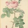 Rosa bifera Officinalis; Rosier damascéne d'Autumne (syn.)