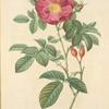 Rosa Damascena Coccinea; Rosier de Portland 'Duchess of Portland'