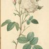 Rosa Centifolia Mutabilis; Rosier a centfeuilles 'Unique blanche'; Rosier a centfeuilles 'Vierge de Clery' (syn.)