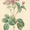 Rosa Centifolia Caryophyllea; Rosier a centfeuilles, variete