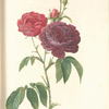Rosa Gallica (Purpuroviolacea Magna); Rosier Evêque (syn)