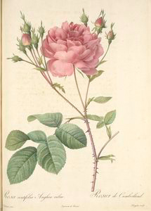 Rosa Centifolia Anglica Rubra; Variety du Rosier á centfeuilles