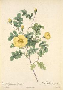 Rosa Eglanteria Luteola; L'Eglantier Serin (syn)